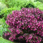 veygela-cvetuscaya-nana-purpurea_1