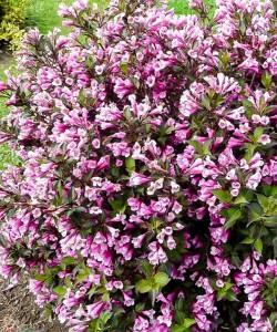 veygela-tsvetushchaya-nana-purpurea-05_1