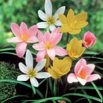 zephyranthes-rain-lily-mix