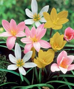 zephyranthes-rain-lily-mix