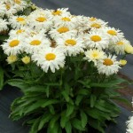 Leucanthemum-Adorable-1-510x510