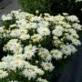 Leucanthemum-Belgian-Lace-2