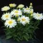 Leucanthemum-Belgian-Lace-3