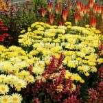 Leucanthemum-Goldfinch-10