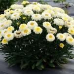 Leucanthemum-Lemon-Puff-1 (1)