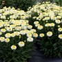 Leucanthemum-Lemon-Puff-3