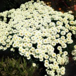 Leucanthemum-Victorian-Secret-4