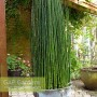 Equisetum japonicum growing in metal container