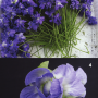 4-3-fresh-picked-flowers-of-Viola-Parme-de-Toulouse-photo-by-Helene-Vie-4-Viola
