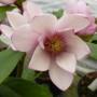 627-1-magnolia_fairy_blush