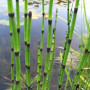 Barred-Horsetail