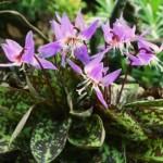 Erythronium dens-c. 'Purple King'