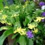 Erythronium_citronella_2012-05-19_1