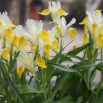 Iris-Bucharica