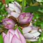 MagnoliaFairyBlush