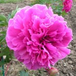 Peony-Itoh-Belle-Toulousaine-3-can-use-1st-blooming-in-vitro-plant_rx-600x600