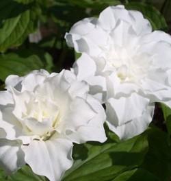 Trillium-grandiflora-Flore-