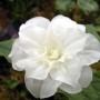 Trillium grandiflorum Snowbunt