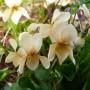 Viola-odorata-Sulphurea_1