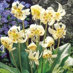 erythronium-white-beauty_1