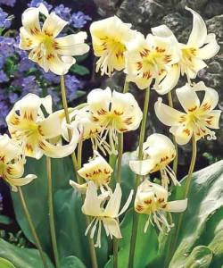erythronium-white-beauty_1