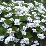 fiolek-motylkowaty-albiflora-viola-sororia