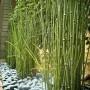 large-Equisetum japonicum 18cm