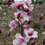 magnolia-x-cult.-tikitere-magnolie