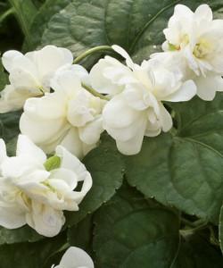 parma_violet_comte_de_brazza_plants
