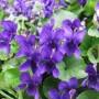 violeta-perfumada-viola-odorata-15-sementes-flor-para-muda-D_NQ_NP_825726-MLB26872488995_022018-F