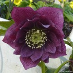206b-6cc2-8011-dark-purple-hellebore-double-0-1-0-1-0-8-1-1000x750