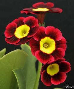 2116-2fb0-Primula-auricula-basuto-0-1-0-1-0-8-1-1000x750