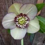 4034-fd54-8004l-helleborus-anemone-red-green-0-1-0-1-0-8-1-1000x750