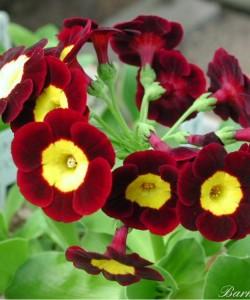 6965-8f26-Primula-auricula-bookham-firefly-0-1-0-1-0-8-1-1000x750
