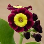 8f79-5c85-primula-auricula-blossom-0-1-0-1-0-8-1-1000x750