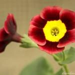 95a6-8e40-Primula-auricula-Blyth-spirit-0-3-0-3-0-8-3-1000x750