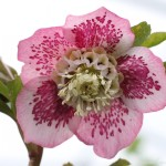98a4-64bb-8004c-pink-anemone-centre-hellebore-0-1-0-1-0-8-1-1000x750