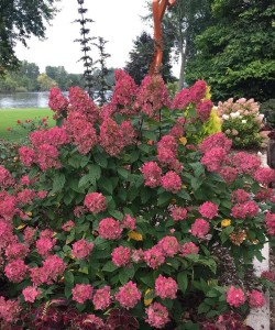 Hydrangea-paniculata-Fire-Light-2