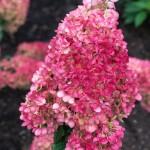 Hydrangea-paniculata-LIVING-STRAWBERRY-BLOSSOM-LCNO3-2