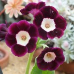 Primula auricula Argus Optimized