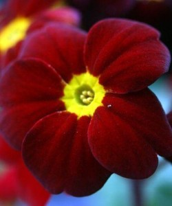 Primula_acaulis_Tartan_Red_1200x1200
