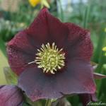 Primula_denticulata_var._alba_De_1_grande