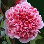 Volunteer-Camellia
