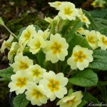 a3ad-8438-437-primula-traditional-yellows-0-1-0-1-0-8-1-1000x750