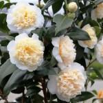camellia-japonica-brushfields-yellow