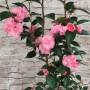 camellia-spring-festival-own1