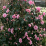 camellia-williamsii-spring-festival-9cm-p3806-30101_image