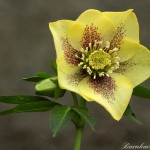 e76a-df65-8006-hellebore-yellow-red-0-1-0-1-0-8-1-1000x750
