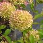 hortensia-paniculata-romantic-ace-renvagor-