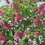 hydrangea-paniculata-couhaprim-prim-red-01